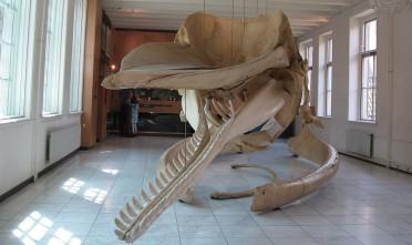 Walvis in Natuurmuseum Friesland